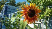 creativity sunflower